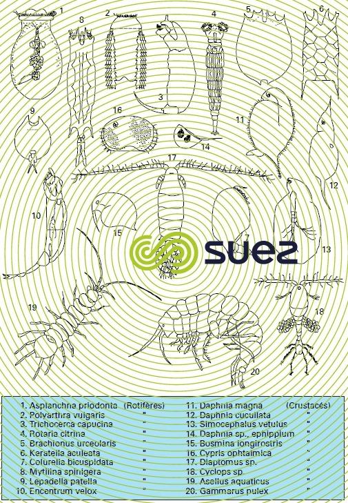 Zooplancton 3